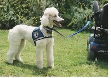 Do-Poodles-Service-Dog