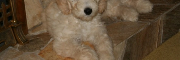 Goldendoodle and Labradoodle Videos