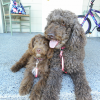 Standard Poodle teaches Mini Aussiedoodle puppy to walk on a leash..