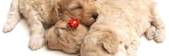 Puppy Growth Charts and Calculators – How Big Will My Puppy Get?