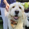 Bocker the Famous Labradoodle – Videos