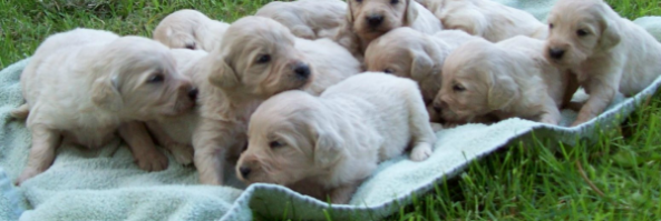 Homeopathic Recipes for Fading Puppy Syndrome,  Runts and Nursing Moms