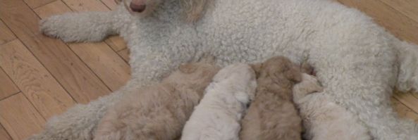 Coccidia Aussiedoodle And Labradoodle Puppies Best Labradoodle