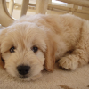 The Volhard Puppy Aptitude Test – How to Test Your Puppies Temperament