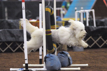 AKC Agility & Carrington