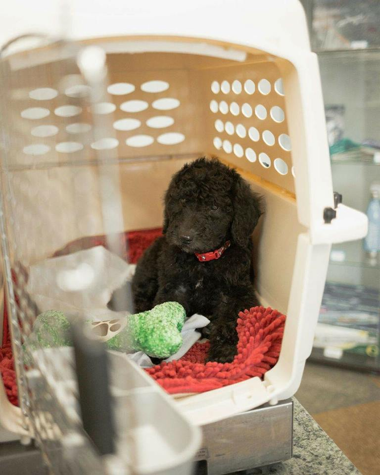 MULTIGEN LABRADOODLE PUPPY IN HIS CRATE