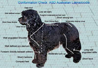 ALAA LABRADOODLE TRAITS AND STANDARDS