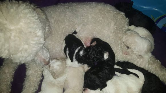 MULTIGEN LABRADOODLE PARTI PUPPIES PARTI WHITE BLACK PUPPIES-