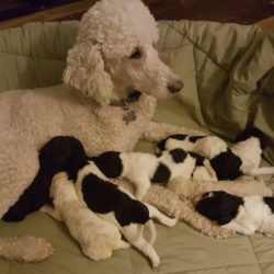 Pe;le and her new litter of Parti Multigen Labradoodles