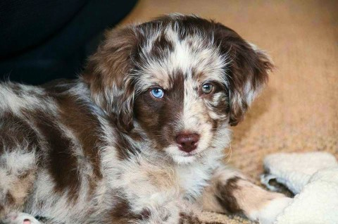 Ziggy - Mini Aussiedoodle Puppy