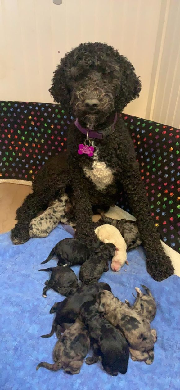 Mama Vivian with her brand new litter of Labradoodle puppies and dirty face from nesting first in the dirt outside... if you beeed dogs then you're probably familiar with this.. Haha!