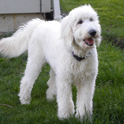 Baby - F1 Goldendoodle