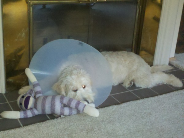 Goldendoodle in the cone of shame