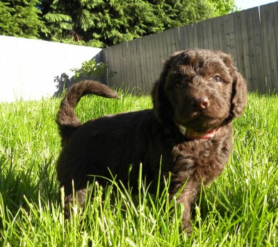 5 week old F1b Labradoodle
