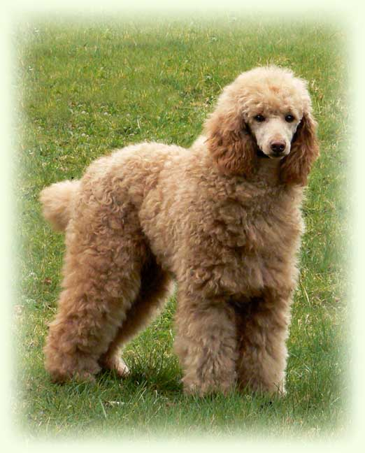 About The Poodle Aussiedoodle And Labradoodle Puppies
