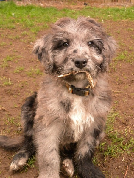 About Aussiedoodles Aussiedoodle Puppies For Sale