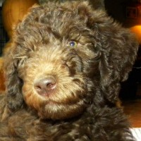 Tippy Rose - F1b Labradoodle