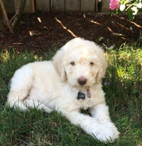 Arlo - 8 2k old Cream Multigen Labradoodle Male from Loli and Hershey