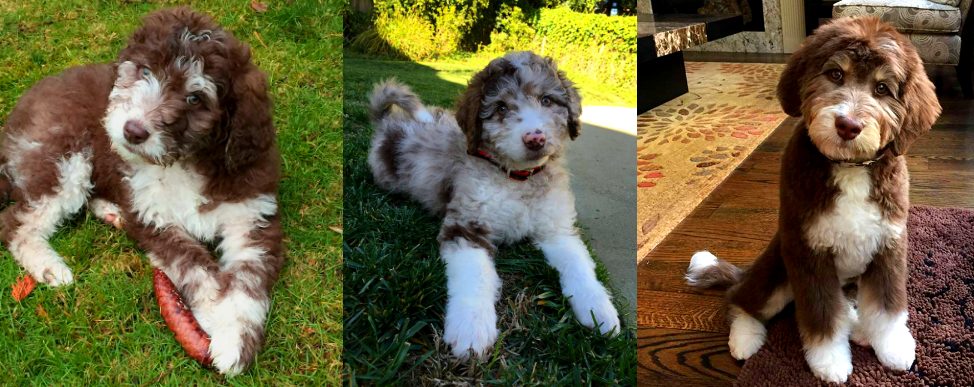 DreamyDoodles Northwest - Labradoodles and Aussiedoodles ... | 974 x 387 png 1112kB