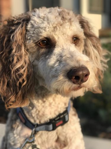 Red Merle Aussiedoodle - Dreamydoodles - Labradoodles in Washington State