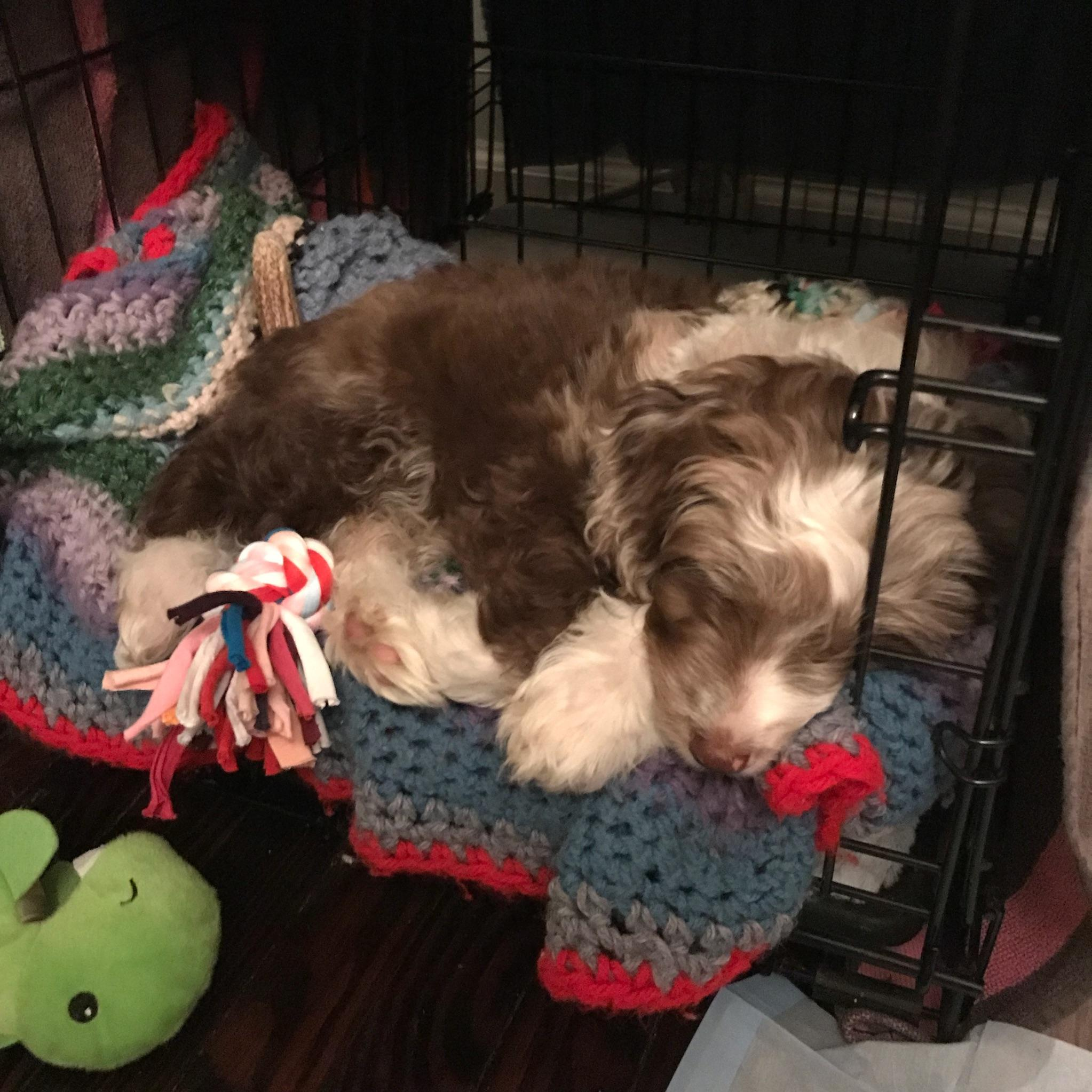Mini Aussiedoodle in her crate - potty training a Aussiedoodle in 7 days  - crate blankets and beds