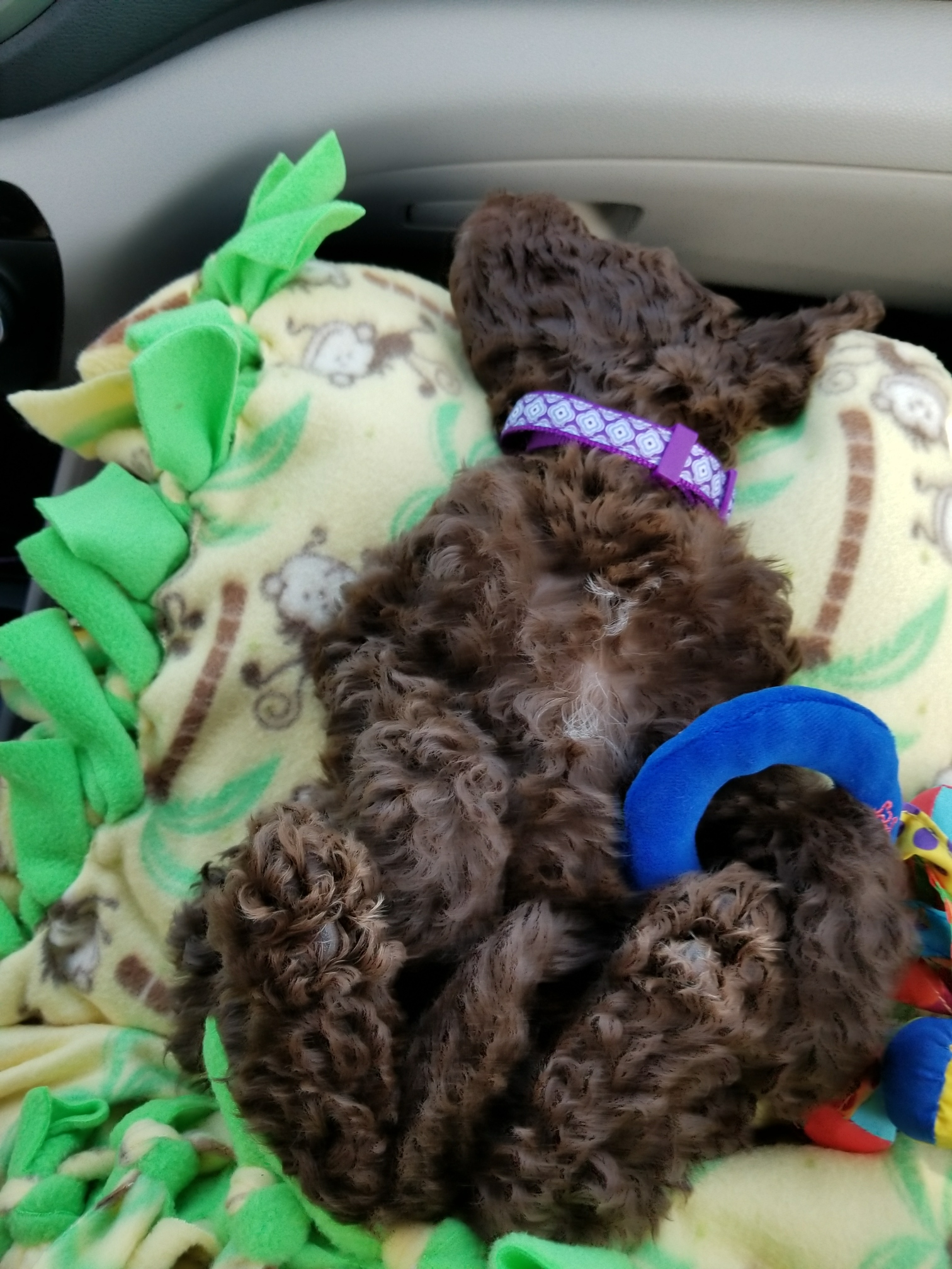 Mini Chocolate Aussiedoodle - Goose - 8 wks old Going Home!