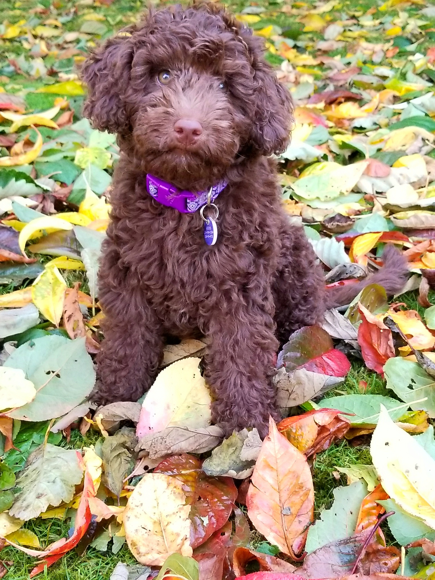 "MINI AUSSIEDOODLE ""GOOSE"" IN THE LEAVES!"