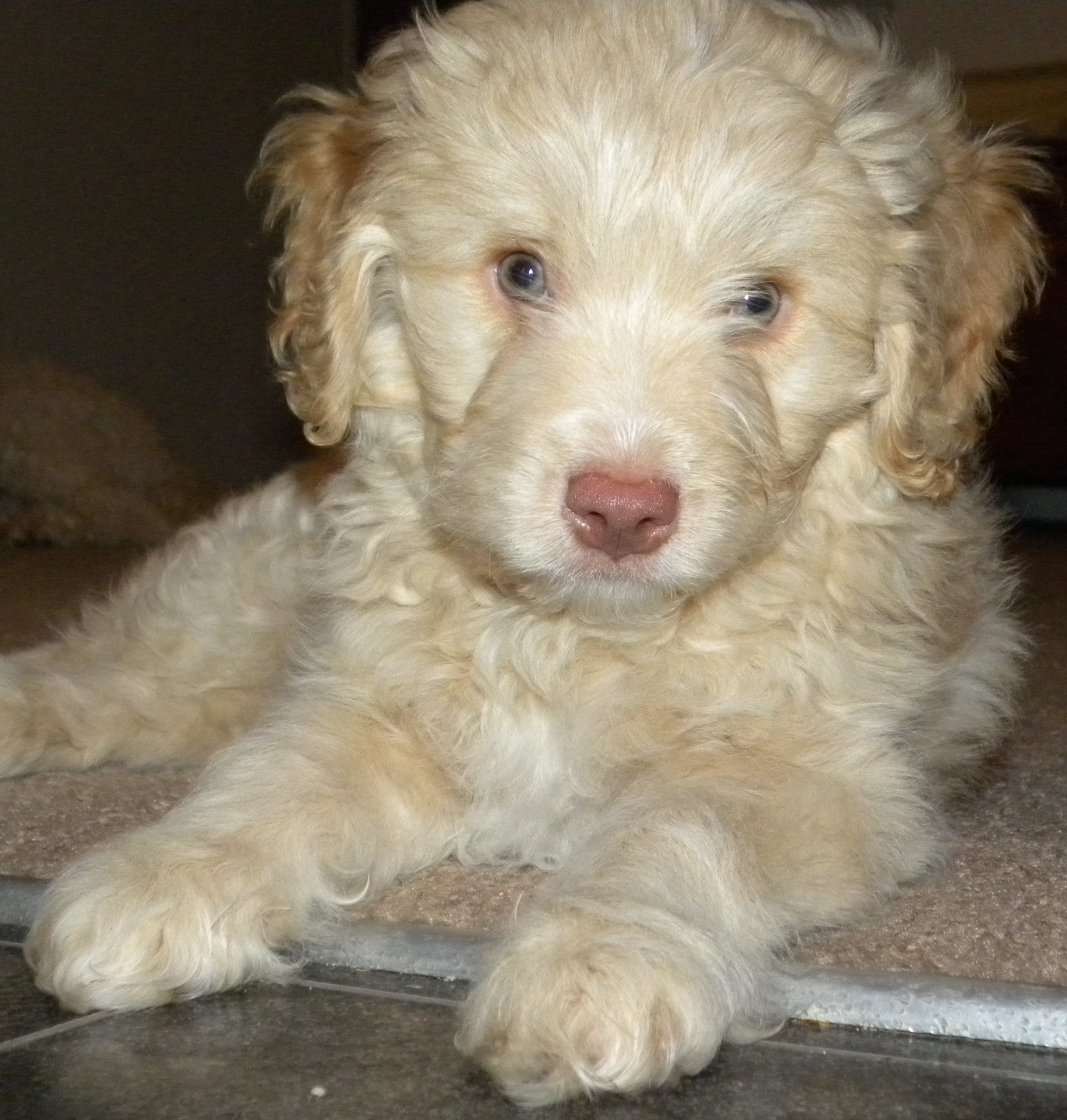 Apricot Mini Aussiedoodle Tate - Dreamydoodles Northwest