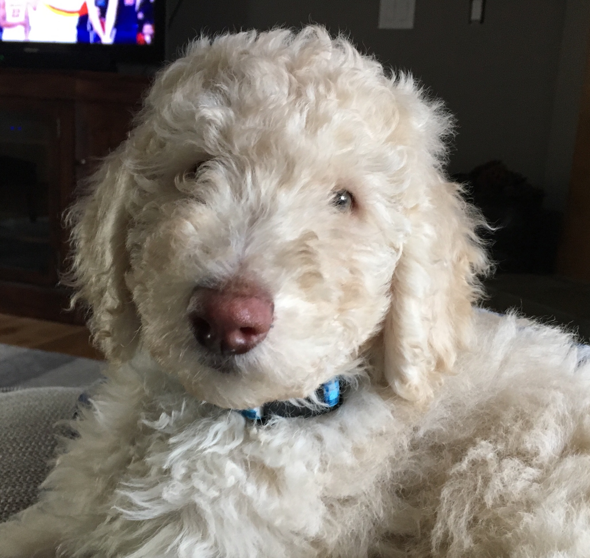 Treating Coccidia With 12 5 Sulfadimethoxine And Dyne In Dogs And Puppies Dosage Chart And Instructions Aussiedoodle And Labradoodle Puppies Best Labradoodle Breeders In Washington State Portland Oregon