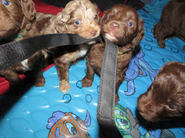 5 wk old Mini Aussiedoodle Thieves!