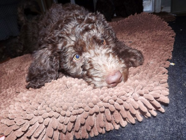 Labradoodle from Tippy