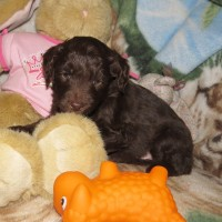 White Collar Male 5 wks Mini Aussiedoodle