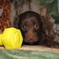 Green Collar Female 5 wks Mini Aussiedoodle