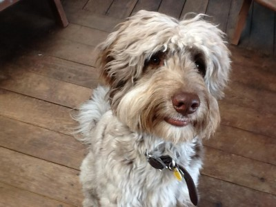 Aussiedoodle Adult - Chip