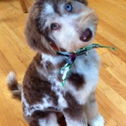 Mishka - Standard Red Merle Aussiedoodle - One Blue Eye