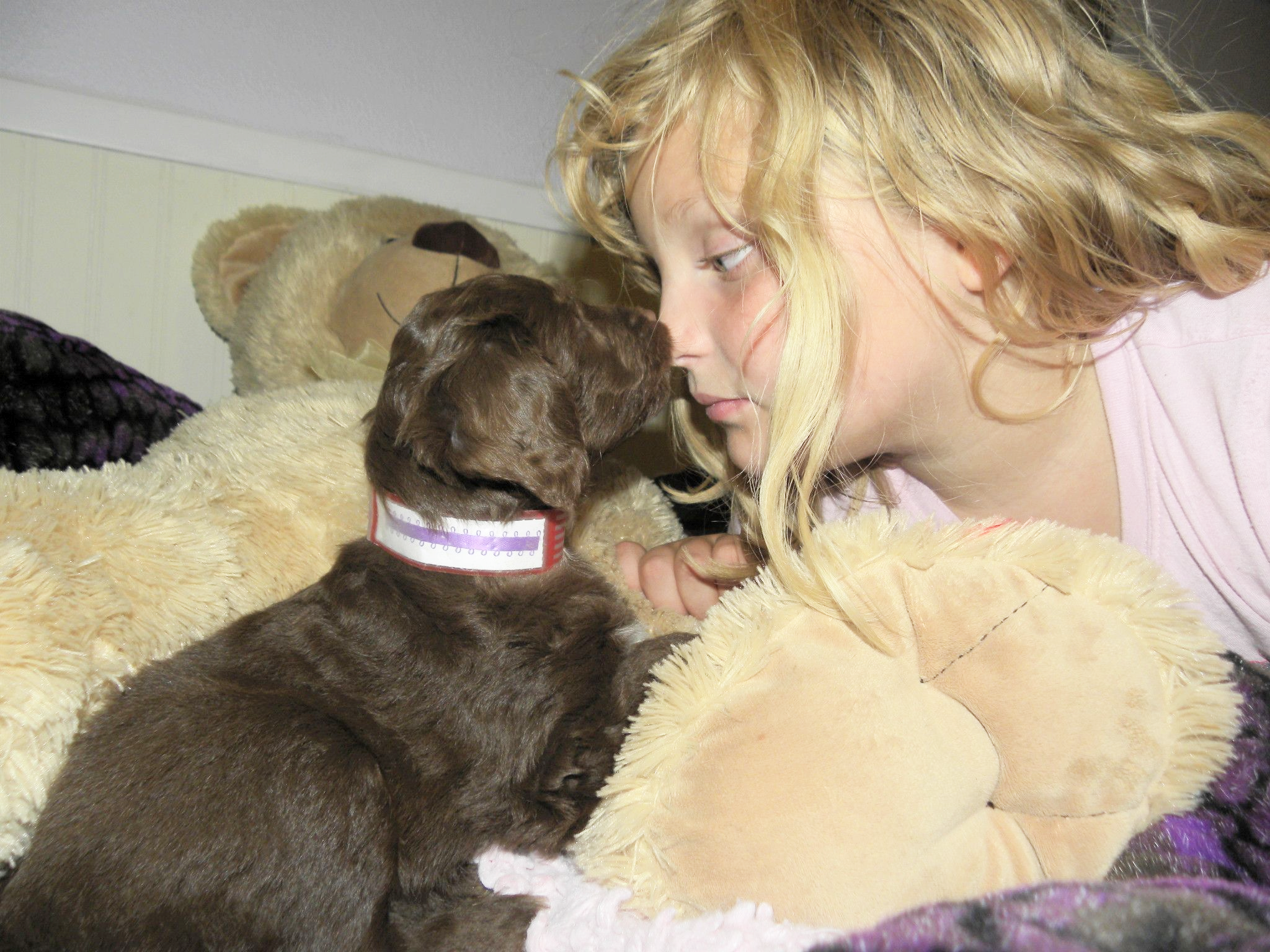 Bonding with and engaging your new puppy - getting down to eye level with your puppy - Mini Chocolate Aussiedoodle Puppy!
