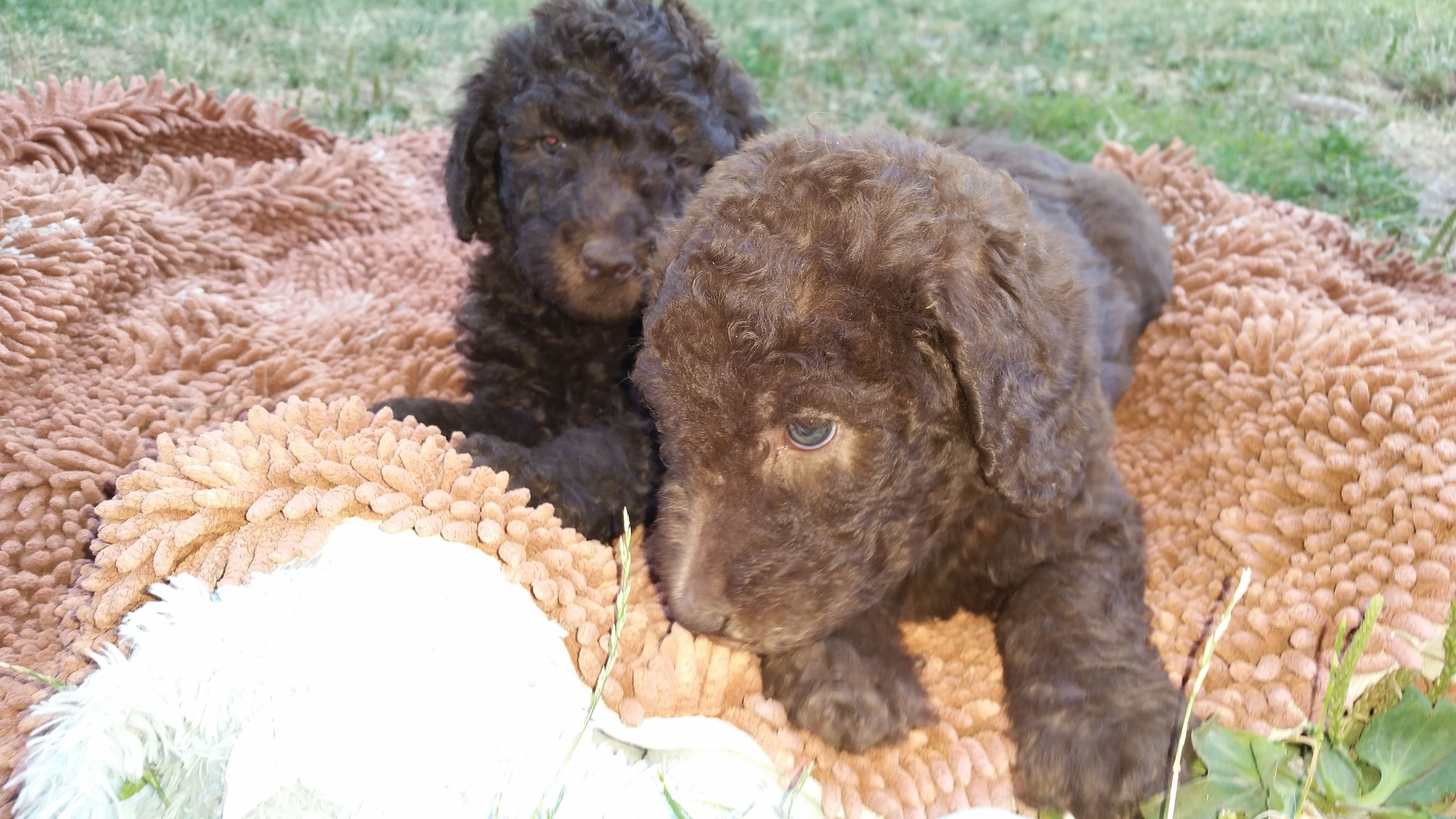 F1b Labradoodle Puppies For Sale In Washington Summer 2014