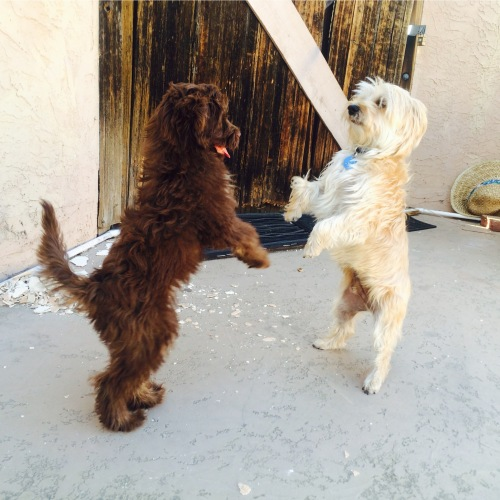 Mini Aussiedoodle Zara and her friend Dancing