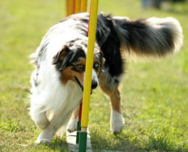 Aussie's excel at all dog sports including agility