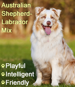 Facts About the Australian Shepherd-Labrador Mix Breed