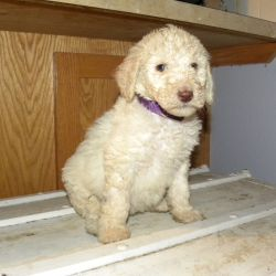 Purple Collar Multi-Gen Labradoodle Female