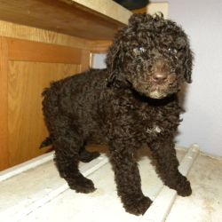 Turquoise Collar Multi-Gen Labradoodle Female