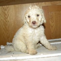 Black Collar Cream Multi-Gen Labradoodle Male