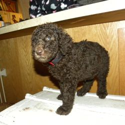 Red Collar Multi-Gen Labradoodle Male