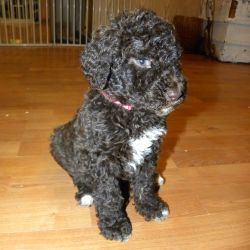 Pink Collar Multi-Gen Labradoodle Female