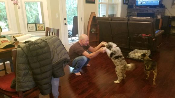 Standard blue merle Aussiedoodle puppy playing with his Dad from Mercy and Prince litter 2019