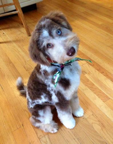 Mishka and his new haircut - Aussiedoodle from Ivy and Rally