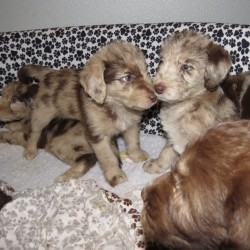 Beige - Merle - Male and Pink - Merle - Female (left to right)