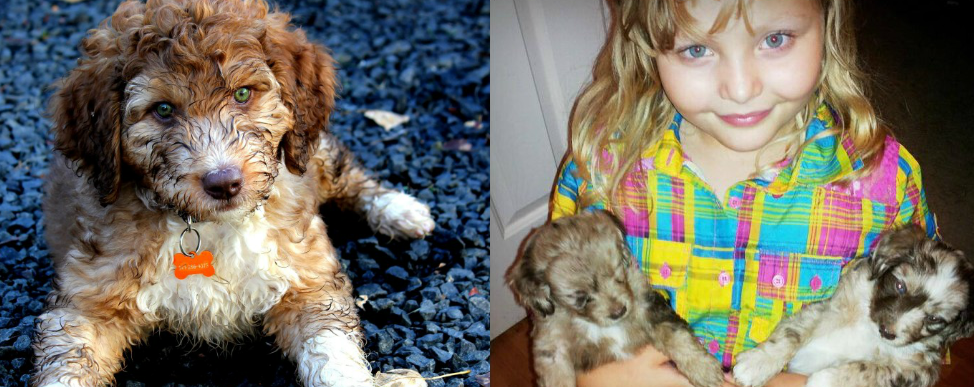 DreamyDoodles Northwest - Labradoodles and Aussiedoodles ... | 974 x 387 png 1092kB