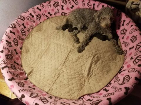 One of my Labradoodle Dams in the large size Whelping Pool with Cover and Pad